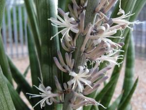 African spear (Sansevieria cylindrica)