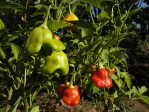 Sweet piquante peppers