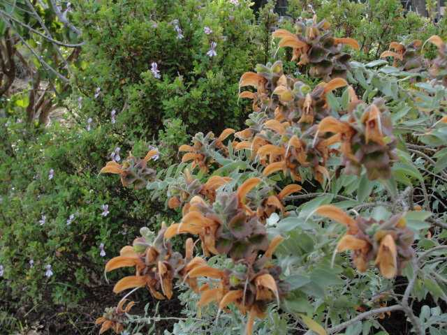 African sage (Salvia africana-lutea). Featured plant at Towerkop ...
