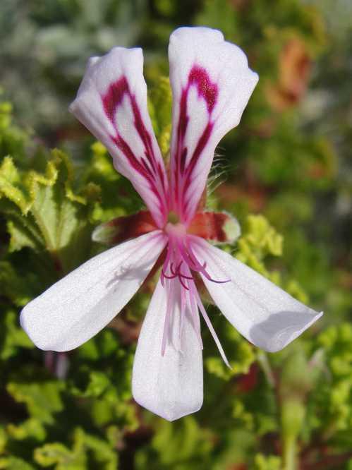 Pelagonium crispum