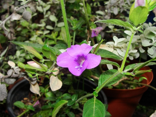 Barleria flowering
