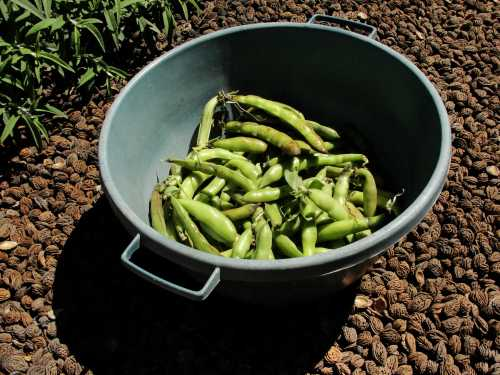 Broad (Fava) beans