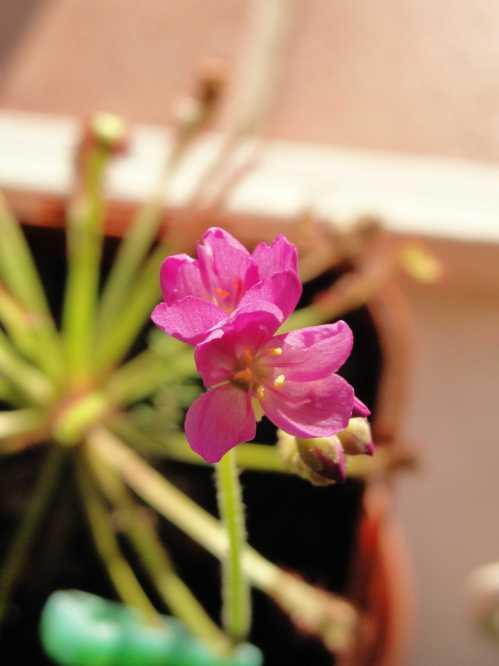 Sundew (Drosera capensis)