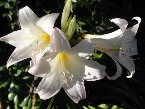 March Lilly
