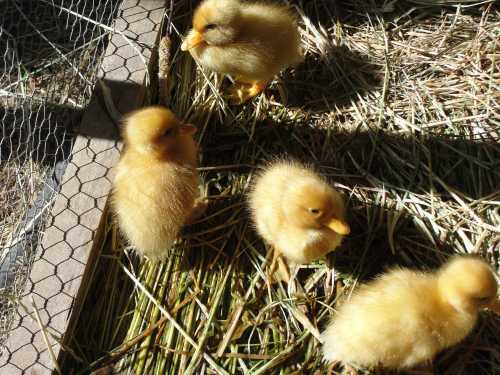 Four new ducklings on the farm