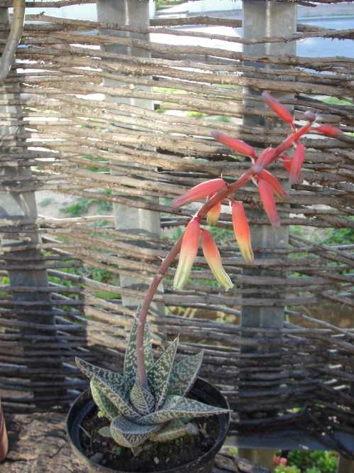 aloe-variegata