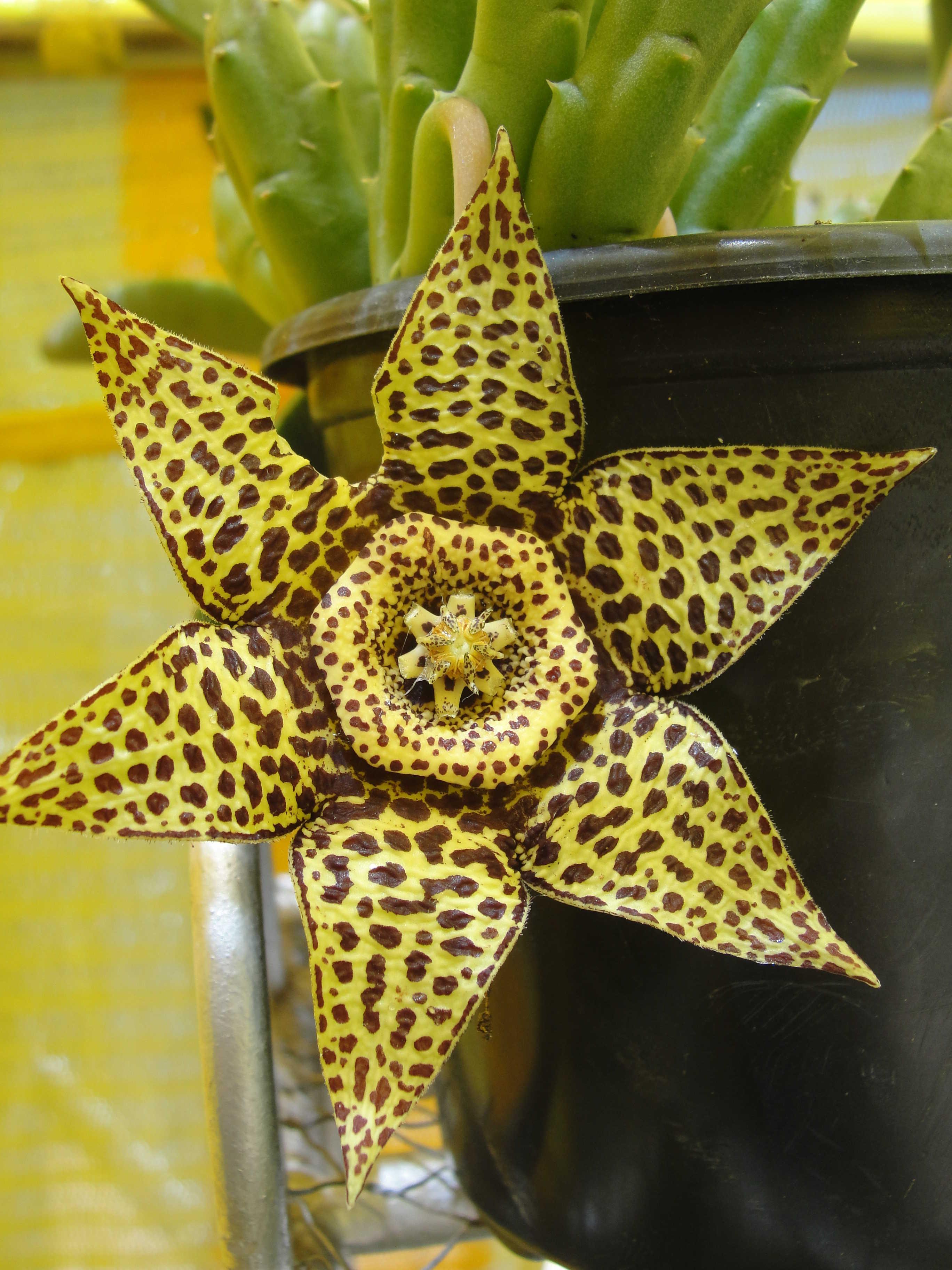 orbea_variegata