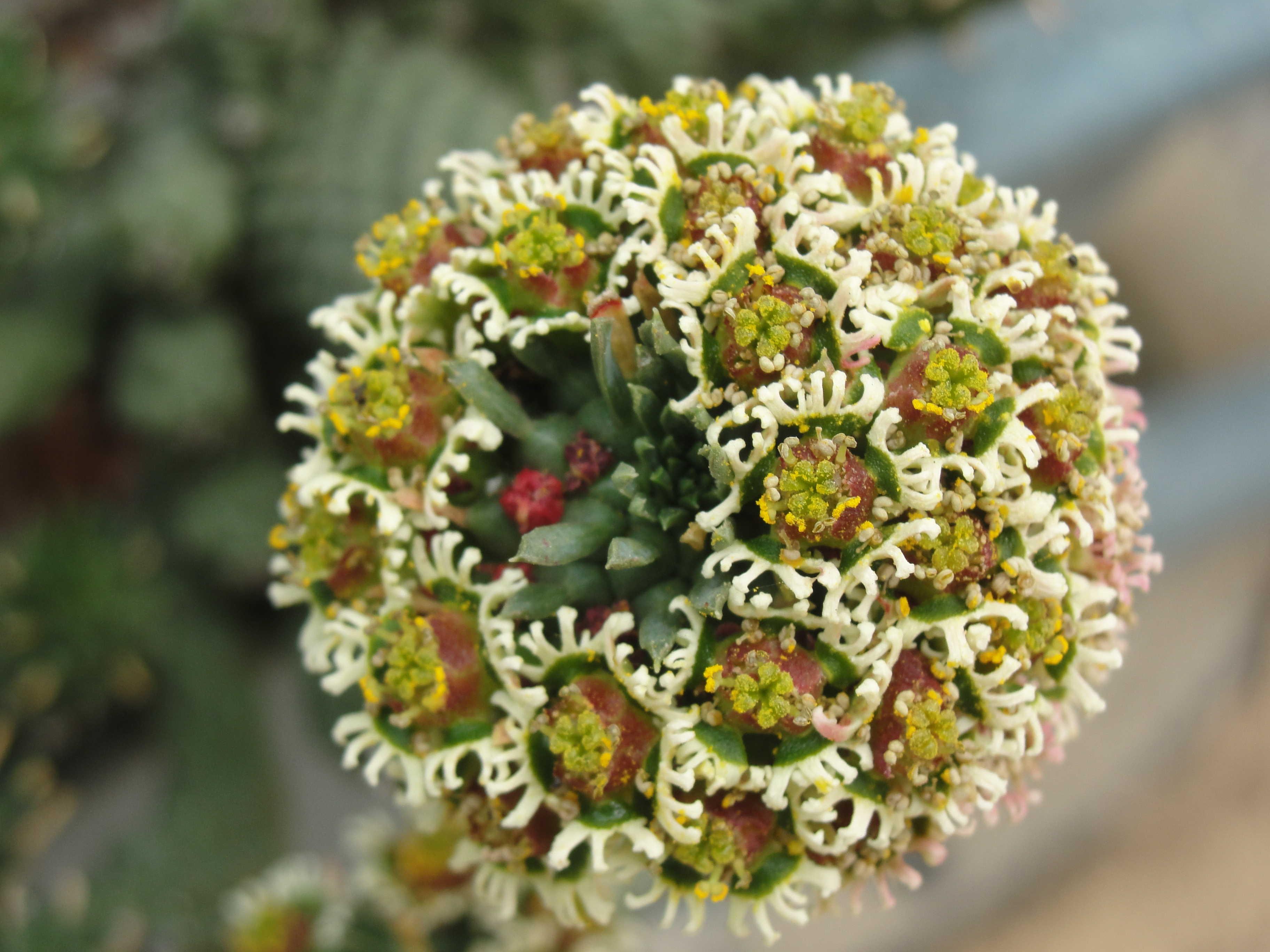 Caput-medusa_flower